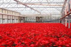 Serre chaude des fleurs de poinsettia photographie stock libre de droits