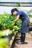 Serre chaude travaillante de jardinier Image stock