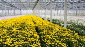 Serre d'une crèche de fleur coupée avec la floraison de jaune chrysant Photographie stock