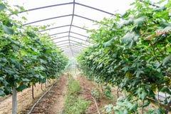 Serre dell'uva Fotografia Stock
