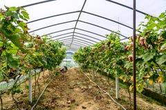 Serre dell'uva Immagini Stock Libere da Diritti
