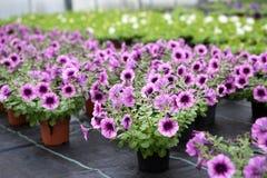 Serre met bloeiende petuniabloemen stock foto