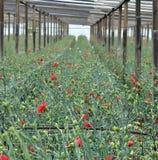 Serre met bloemen van anjer Stock Afbeeldingen