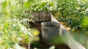 Serre met groene bloeiende tomaten en peper royalty-vrije stock afbeelding