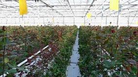 Serre met roze bloemen stock videobeelden