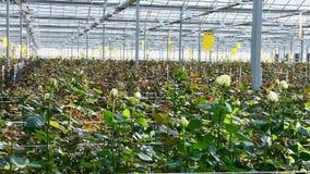 Serre met roze bloemen stock video
