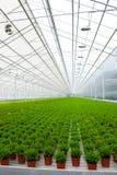 Serre met vele installaties van het Bamboe Stock Fotografie