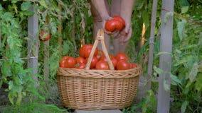 In Serre verzamelt een Bejaarde Rijpe Tomaten en zet hen in Mand stock footage