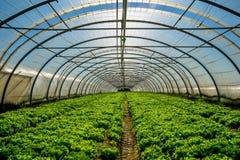 Serre voor de cultuur van salade Stock Foto's