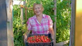 In Serrebejaarde die een Doos met Oogst van Rijp Cherry Tomatoes houden stock video