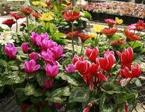 Serrebloemen - Cyclaam Royalty-vrije Stock Fotografie