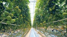 Serrehoogtepunt van onrijpe het groeien tomaten en daglicht stock footage