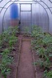 Serres met tomaten Stock Foto