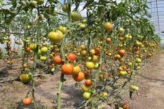 Serres voor het groeien tomatoes_2 Stock Afbeelding