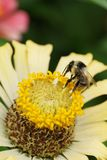 Serrisquama caucásico gris-negro macro del Bombus del abejorro en yello Fotos de archivo libres de regalías