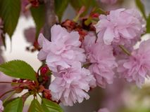 Вишневые цвета как японские вишня, Сакура или serrulata сливы стоковое фото rf