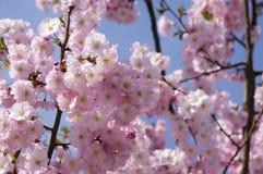 Serrulata сливы в цветени, дереве романтичной розовой весны зацветая, разветвляет вполне двойных цветков Стоковые Изображения