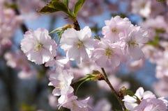 Serrulata сливы в цветени, дереве романтичной розовой весны зацветая, разветвляет вполне двойных цветков Стоковая Фотография