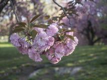 Serrulata сливы или японская вишня Стоковое фото RF