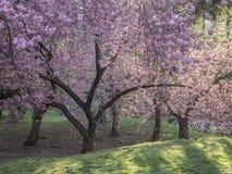 Serrulata сливы или японская вишня Стоковая Фотография