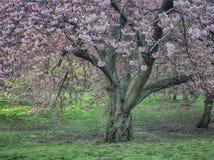 Serrulata сливы или японская вишня Стоковые Изображения RF