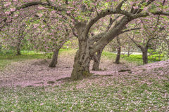 Serrulata сливы или японская вишня Стоковые Изображения