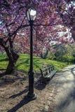 Serrulata сливы; Японская вишня; Стоковое Изображение RF