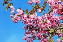 Serrulata Cerasus (ιαπωνικό ανθίζοντας κεράσι) Στοκ Εικόνες