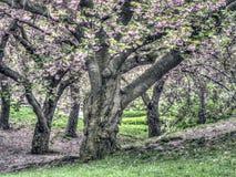 Serrulata de Prunus ou cerise japonaise Image stock