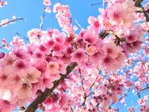 Serrulata del Prunus Immagine Stock Libera da Diritti