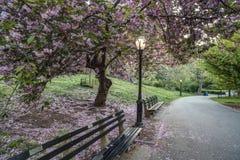 Serrulata del Prunus; Ciliegia giapponese; Immagini Stock