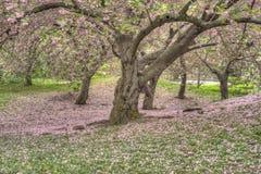 Serrulata del Prunus o cereza japonesa Imagenes de archivo