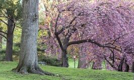 Serrulata del Prunus o ciliegia giapponese Immagini Stock Libere da Diritti