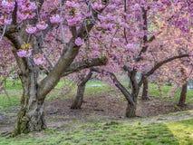 Serrulata del Prunus o ciliegia giapponese Immagine Stock Libera da Diritti