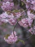 Serrulata del Prunus o ciliegia giapponese Immagine Stock