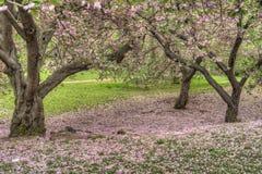 Serrulata del Prunus o ciliegia giapponese Fotografie Stock