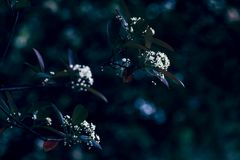 Serrulata Lindl del Photinia foto de archivo libre de regalías