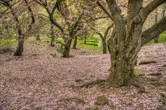 Serrulata van Prunus of Japanse Kers Royalty-vrije Stock Foto