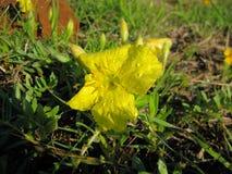 Serrulatus amarelo de Calylophus da prímula de nivelamento fotografia de stock