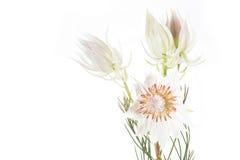 Serruria la Floride ou fierté de fleur de Franschhoek sur le blanc photographie stock