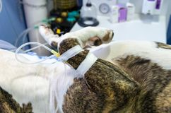 Serumtherapie in een hoofdader bij een hond stock afbeeldingen