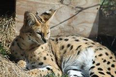 Serval één Royalty-vrije Stock Afbeelding