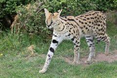 serval άγρια περιοχές γατών Στοκ Εικόνες