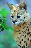 serval άγρια περιοχές γατών Στοκ Φωτογραφίες