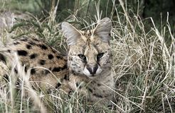 Serval γάτα Leptailurus Serval που στηρίζεται στη χλόη στοκ φωτογραφία με δικαίωμα ελεύθερης χρήσης