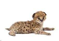 Serval μωρών που απομονώνεται Στοκ Εικόνα