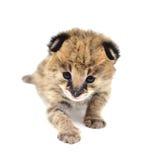 Serval μωρών που απομονώνεται Στοκ εικόνες με δικαίωμα ελεύθερης χρήσης