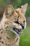 serval кота спутывая Стоковая Фотография