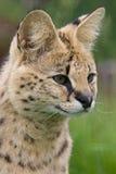 serval кота Стоковые Фото