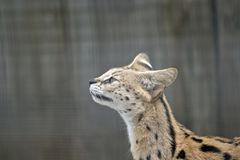 Serval Royaltyfri Fotografi